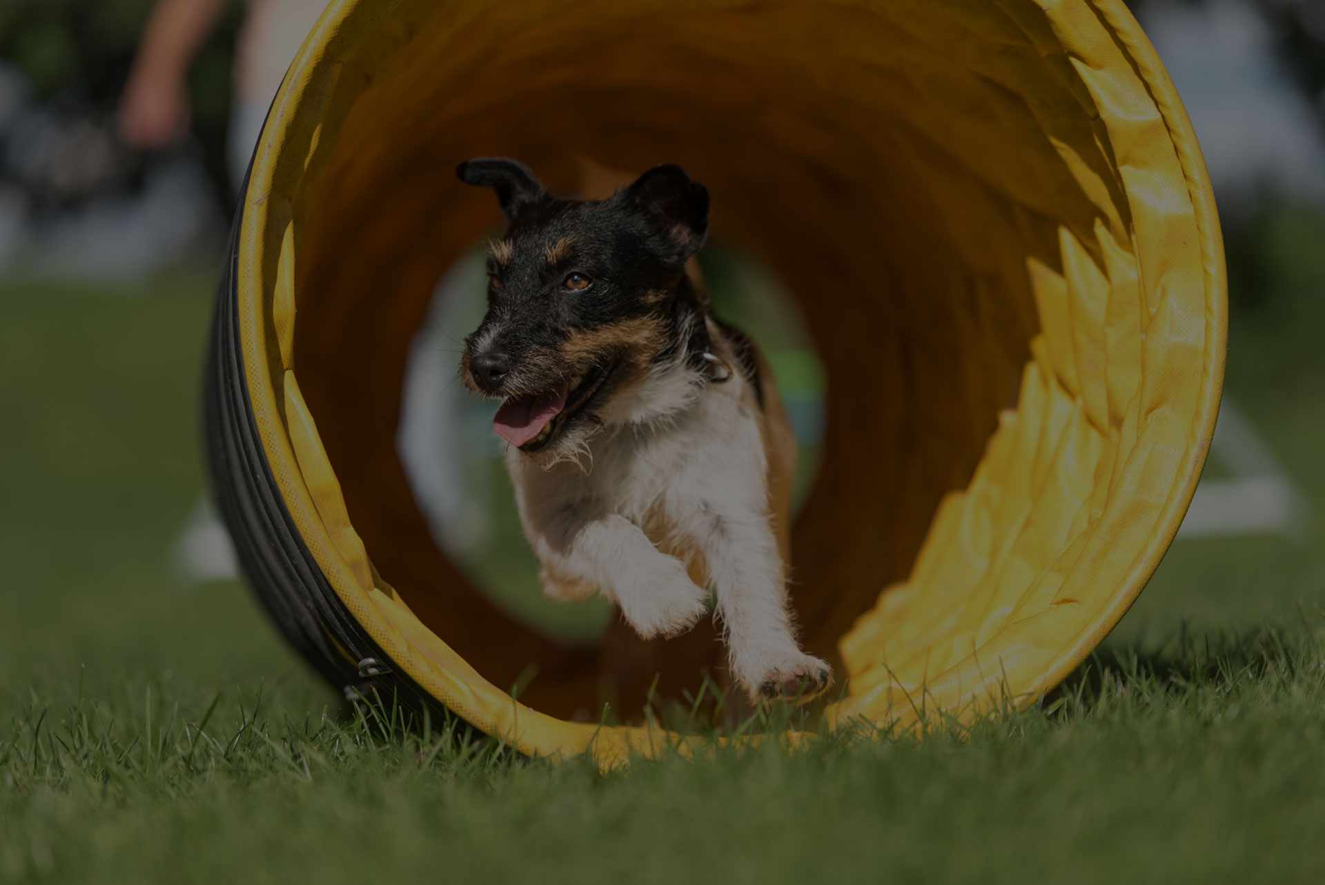 Dog runs through an agility tunnel - Jack Russell Terrier - Image
