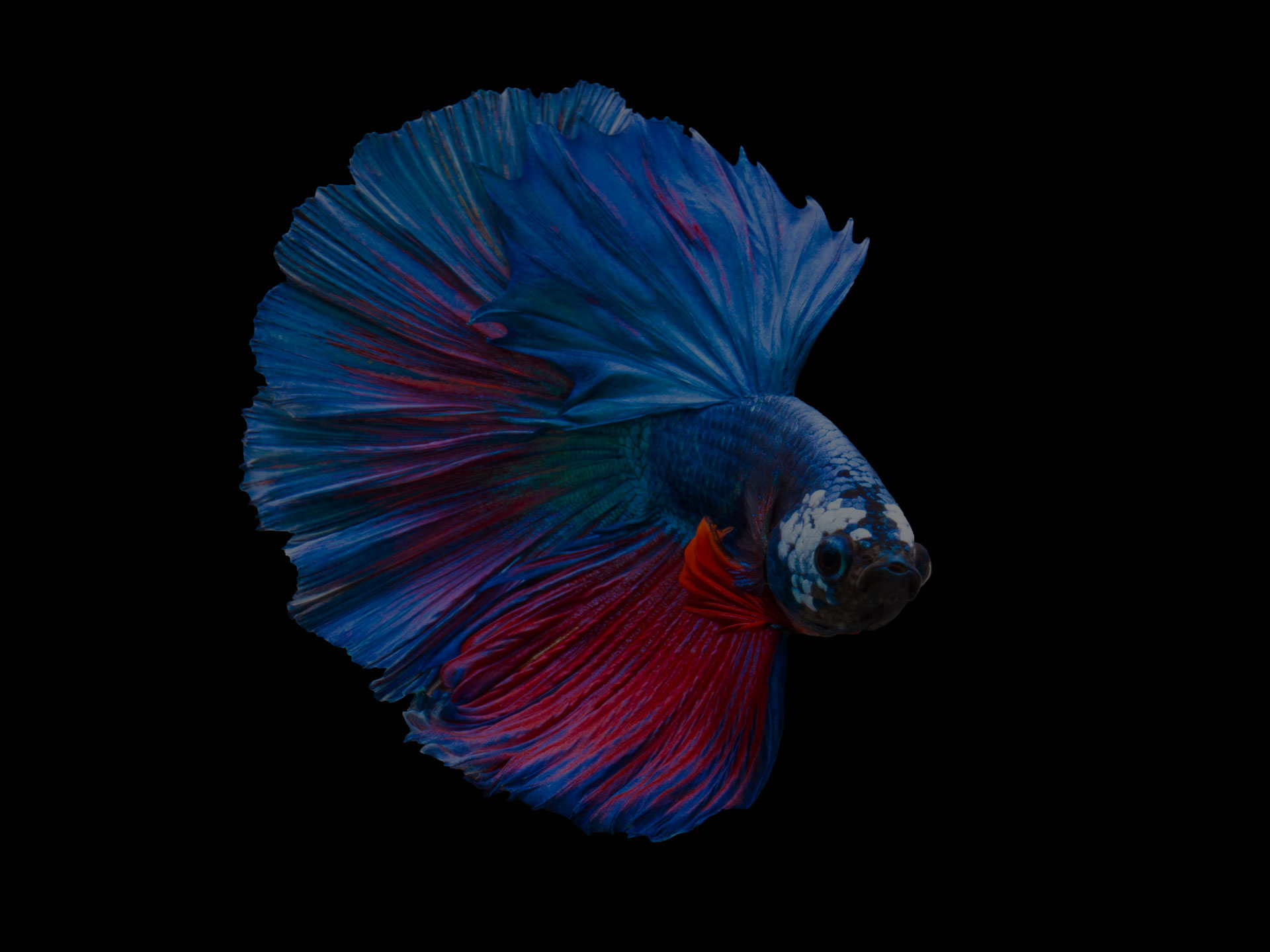 Multi color Siamese fighting fish(Rosetail),fighting fish,Betta splendens,on black background - Image